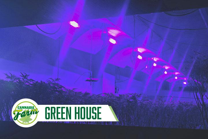 Cannabis Farm Greenhouse