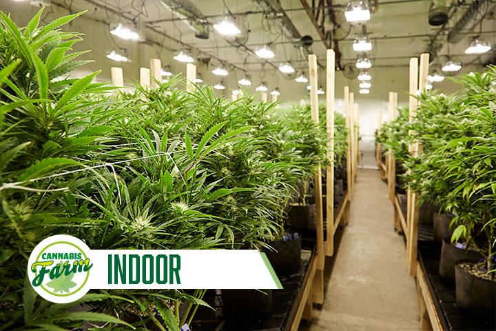 Cannabis Farm Indoor