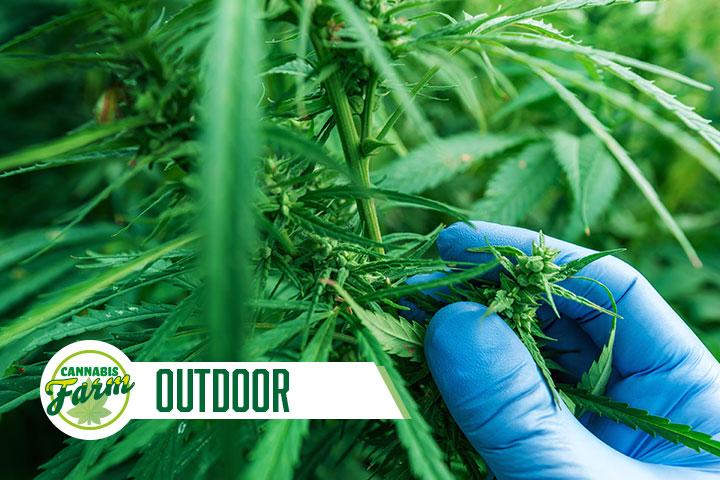 Cannabis Farm Outdoor