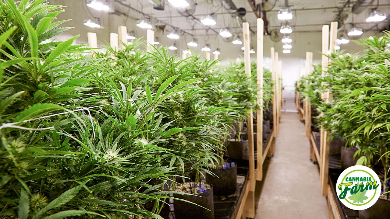 Green House Cannabis Farm