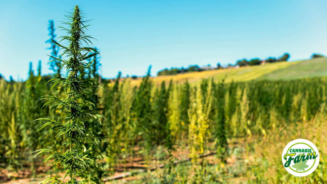 Outdoor Cannabis Farm Genova